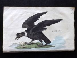 Brightly 1815 Antique Hand Col Bird Print. Condor